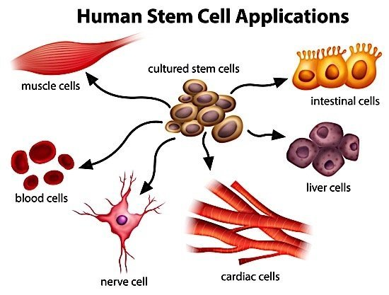 stem-cell-graphic-bayer-mars-toronto-till-mcculloch
